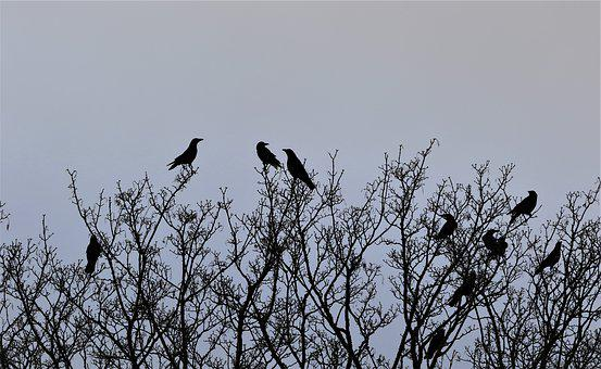 Raven, Crow, Bird, Black, Wildlife, Animal, Trees, Wild