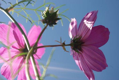 Cosmea, Flower, Nature, Plant, Blossom, Bloom, Summer