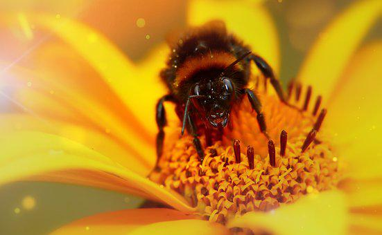 Bumblebee Gas, Pszczołowate, Female, Apiformes