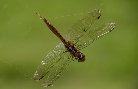 Dragonfly, Insect, Spiders Web, Trap, Caught, Web