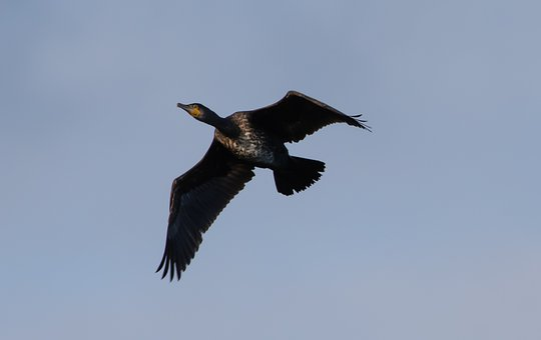 Cormorant, Waterbird, Cormorant Flying, Lake, Freedom