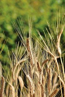Winter Wheat, Wheat, Cereals, Wheat Field, Cornfield