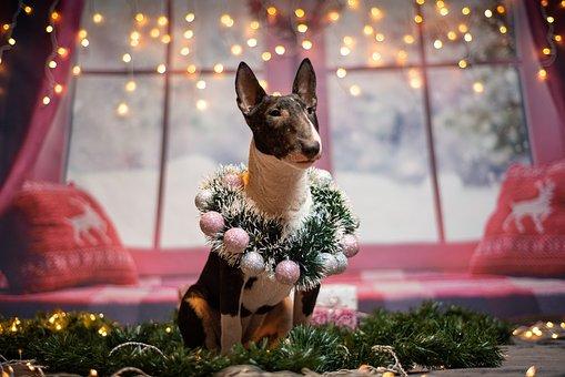 Dogs, Christmas, Mini Bull Terrier, Cute, Funny, Sweet