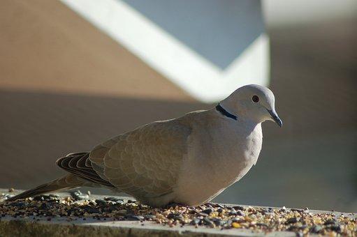 Dove, Bird, Birds, Doves, Beak, Collared Dove