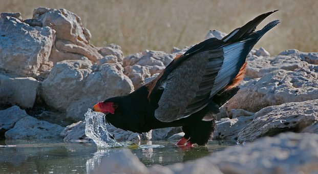 Bird, Bateleur, Rap, Raptor, Eagle, Wild, Drinking