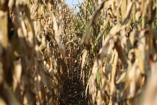 Corn, Field, Series, Food, Harvest, Cultivation