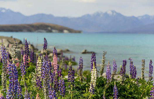 Lupine, Colors, Nature, Colorful, Flower, Summer, Plant