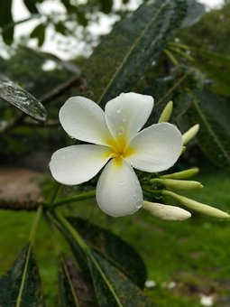 More Information, Flowers, Thailand, White, Flower
