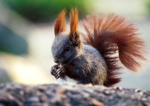 Squirrel, Nager, Mammal, Possierlich, Foraging