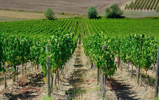 Wijnveld, Vine, Grape, Vines, Landscape, Nature
