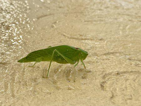 Bug, Katydid, Grasshopper, Green, Insect, Entomology