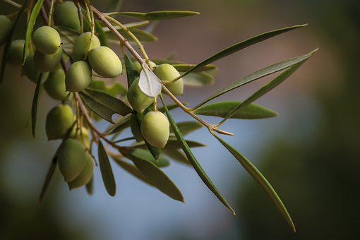 Olives, Young, Plant, Fruit, Immature, Greece, Nature