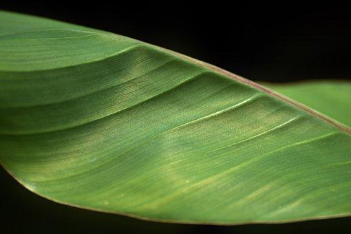 Banana Leaf, Fibers, Banana, Leaf, Leaf Ribs, Flora