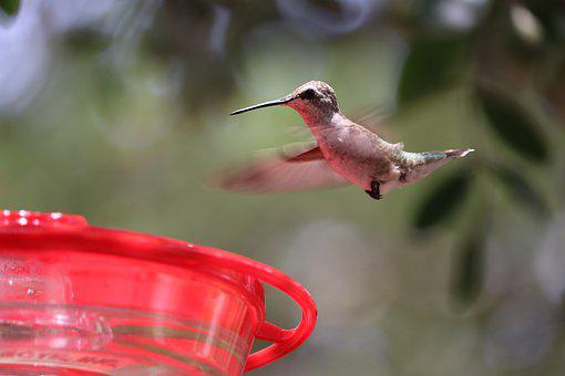 Hummingbird, Natural, Animal, Bird, Backyard, Small