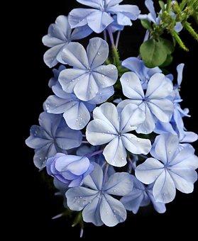 Flower, Blue, Plumbago, Shrub, Garden, Nature