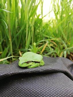 Frog, Tree Frog, Amphibians, Nature, Green, Fauna
