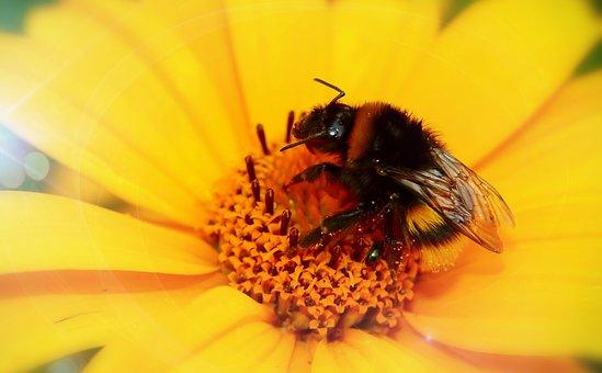 Bumblebee Gas, Female, Pszczołowate, Apiformes