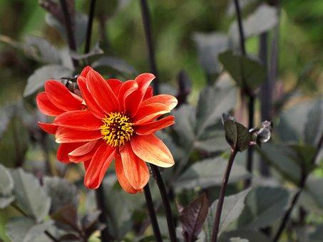Plant, Flowers, Petal, Red, Black, Black Leaves, Dahlia