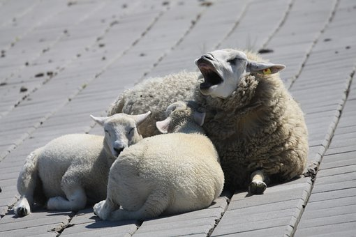 Sheep, Dike, North Sea, Animals, Rest, Landscape