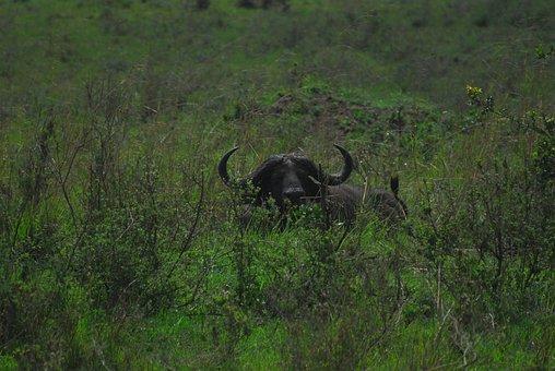 Danger, Buffalo, Dangerous, Wildlife, Africa, Safari