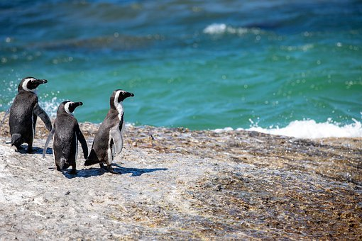 African Penguins, Penguins, Bill, South Africa, Cute