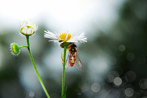 Spider Flowerbed, Female, Muchówka, Victim, Food