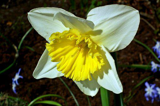 Daffodil, Flower, Spring, Nature, Garden, Closeup