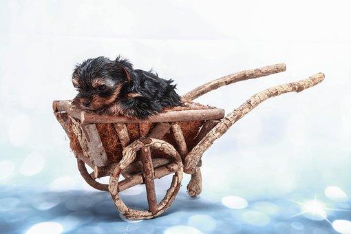 Ornamentation, Yorkie, Dog, Stroller, Background, Black