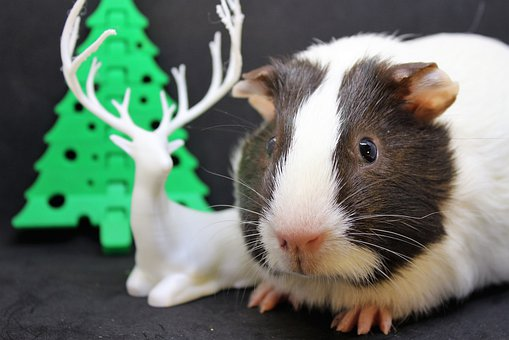 Guinea Pig, Sweet, Cute, Nager, Small, Pet, Rodent
