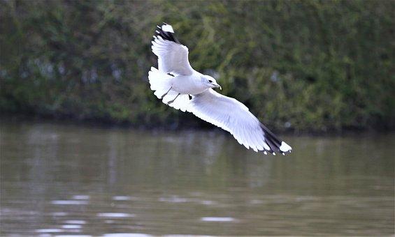 Gull, Wing, Bird, Water Bird, Freedom, Flying, Water