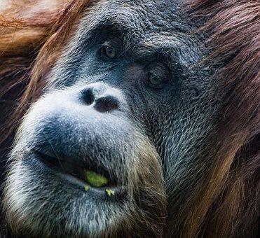 Gorilla, Ape, Monkey, Animal, Mammal, Primate