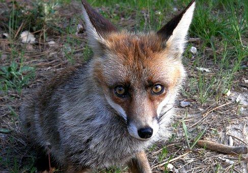 Animal, Red Fox, Portrait, Hairy, Wild, Predator