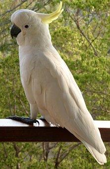 Cockatoo, Australia, Yellow, White, Wildlife, Plumage