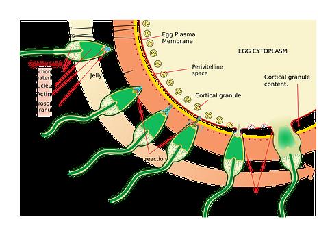 Medecine, Science, Diagram, Biology, Egg, Medical