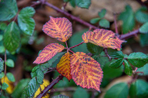 Hedge, Fall Color, Partial, Blackberry Bushes, Leaves