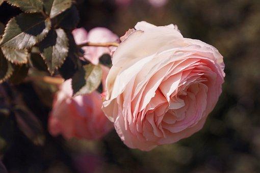 Rose, Floribunda, Blossom, Bloom, Romantic, Rose Bloom