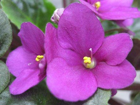 Saintpaulia, Violet, Uzambarskaya, Pink, Flower, Bloom