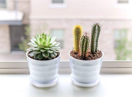 Succulent, Plant, Cactus, Cacti, Grow, Window, Pots