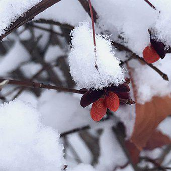 Berries, Ice Crystals, Red Berries, Canadian Hollyberry