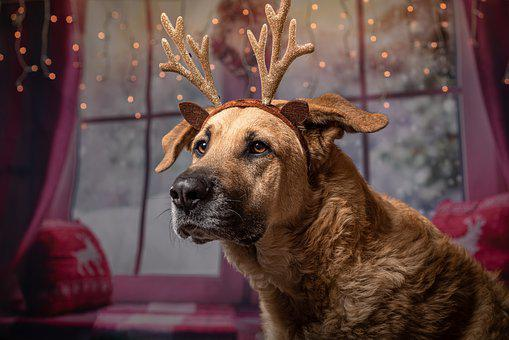 Dog, Christmas, Gifts, Pet, Funny, Reindeer