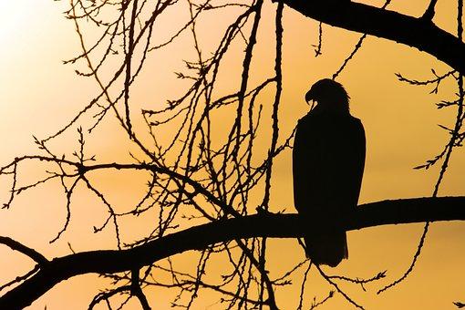 Silhouette, Eagle, Sunrise, Majestic, Ethereal