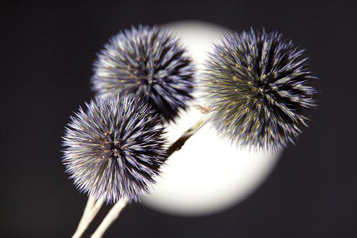 Thistle, Plants, Nature, Violet, Field, Dried Flowers