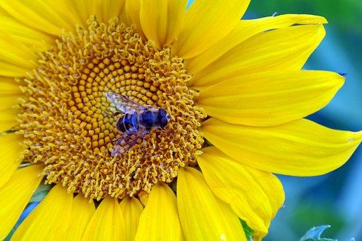 Sunflower, Nature, Flower, Yellow, Summer, Flora, Bees