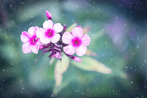 Flower, Blossom, Bloom, Pink, Phlox, Snow, Snowflakes