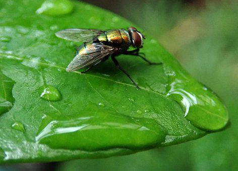 Fly, Insect, Pest, Leaf, Water Drops, Garden, Nature