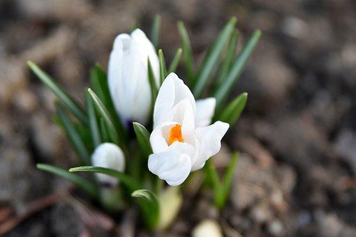 White Crocus, Garden, Spring, Flower