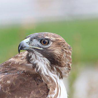 Red Tail Hawk, Bird, Hawks, Nature, Predator, Raptor