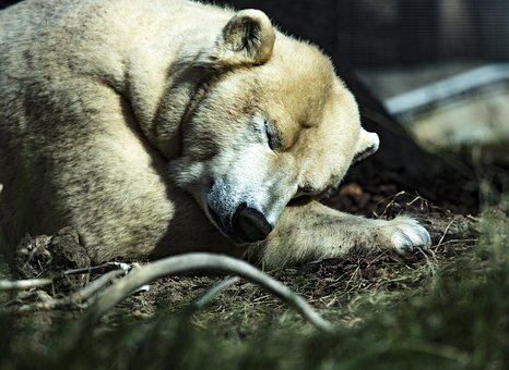 Polar Bear, Sleeping, Animal, Lazy, White, Zoo, Rest