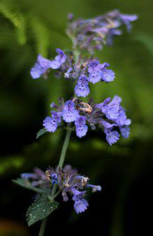 Lobelia Siphilitica 'blue Auslese, Virginische Lobelia