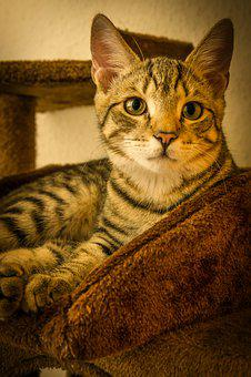 Cat, Mackerel, Lying, Kitten, Domestic Cat, Pet, Cute